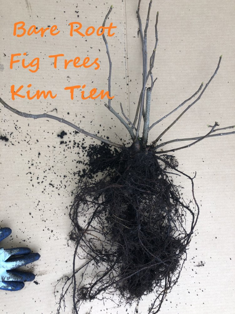 For Newbies: Bare Root Fig Trees